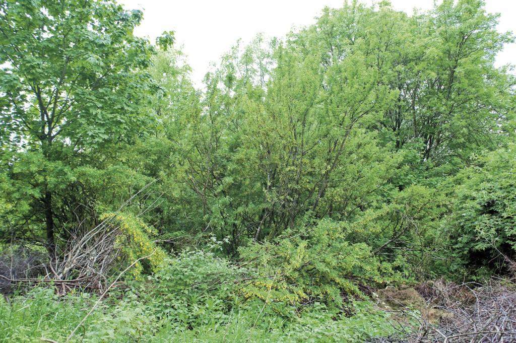 Dette vilniset er rester av det overgrodde sibirertebusklysthuset fra tidlig 1900-tallet. Her skal det igjen bli mulig for besøkende å sette seg ned og nyte den vakre hagen.